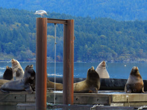 Yearly Sea Lion Migration in Vancouver Island City